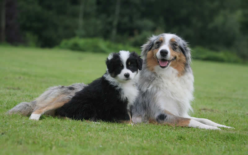 collie and pup at Burghley Vets